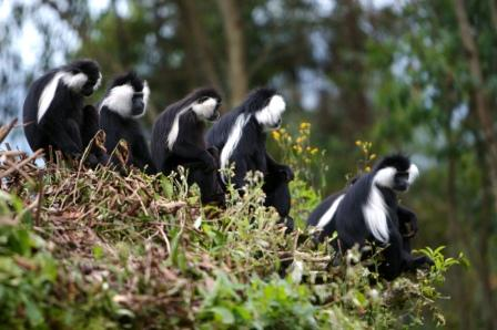 A-group-of-Black-and-White-Angolan-Colobus-Monkeys.jpg