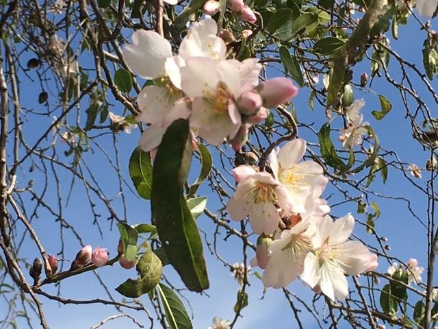 Mandeltreet blomstrer 6.jpg