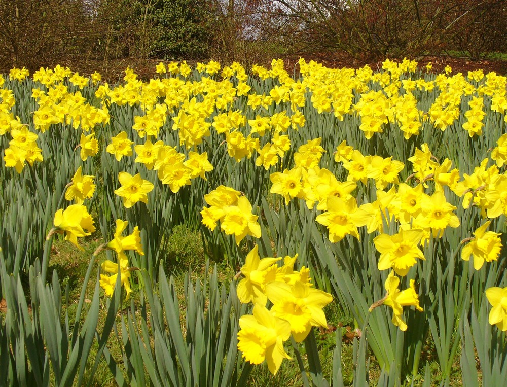 %22A_Host_of_Golden_Daffodils%22_-_geograph.org.uk_-_1772954.jpg