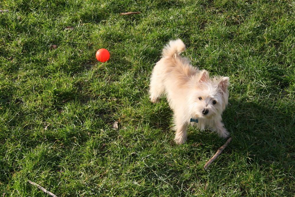 Portia , Paola's wheaten Norwich Terrier puppy