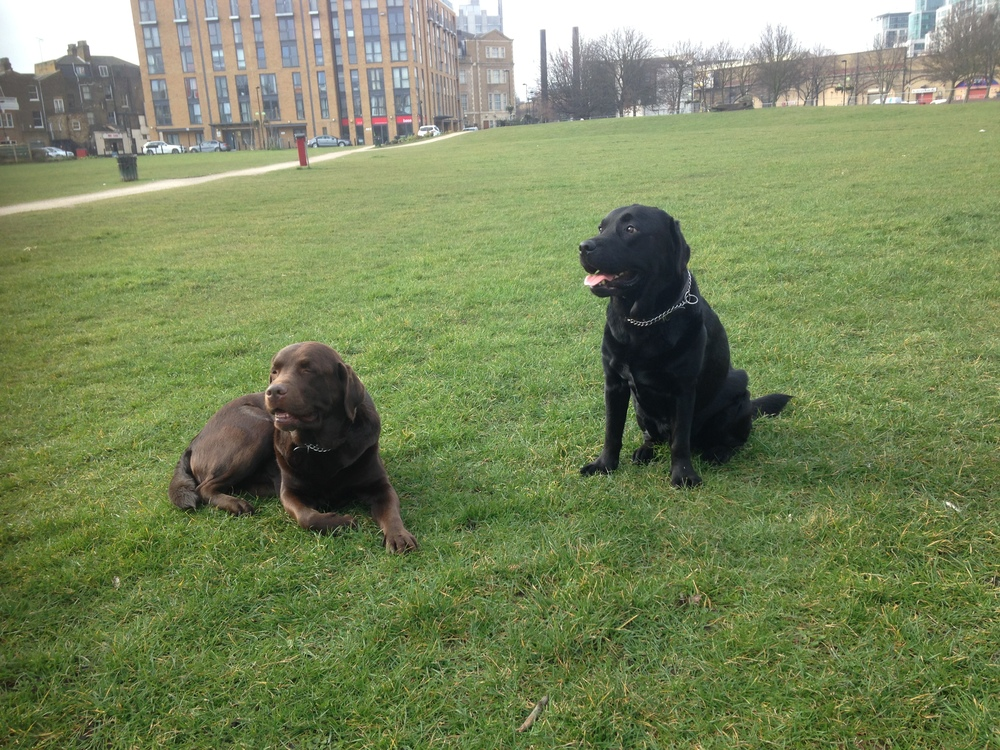 Chocolate and black Labradors Billy and Jack