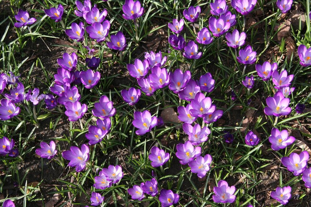 The purple crocuses