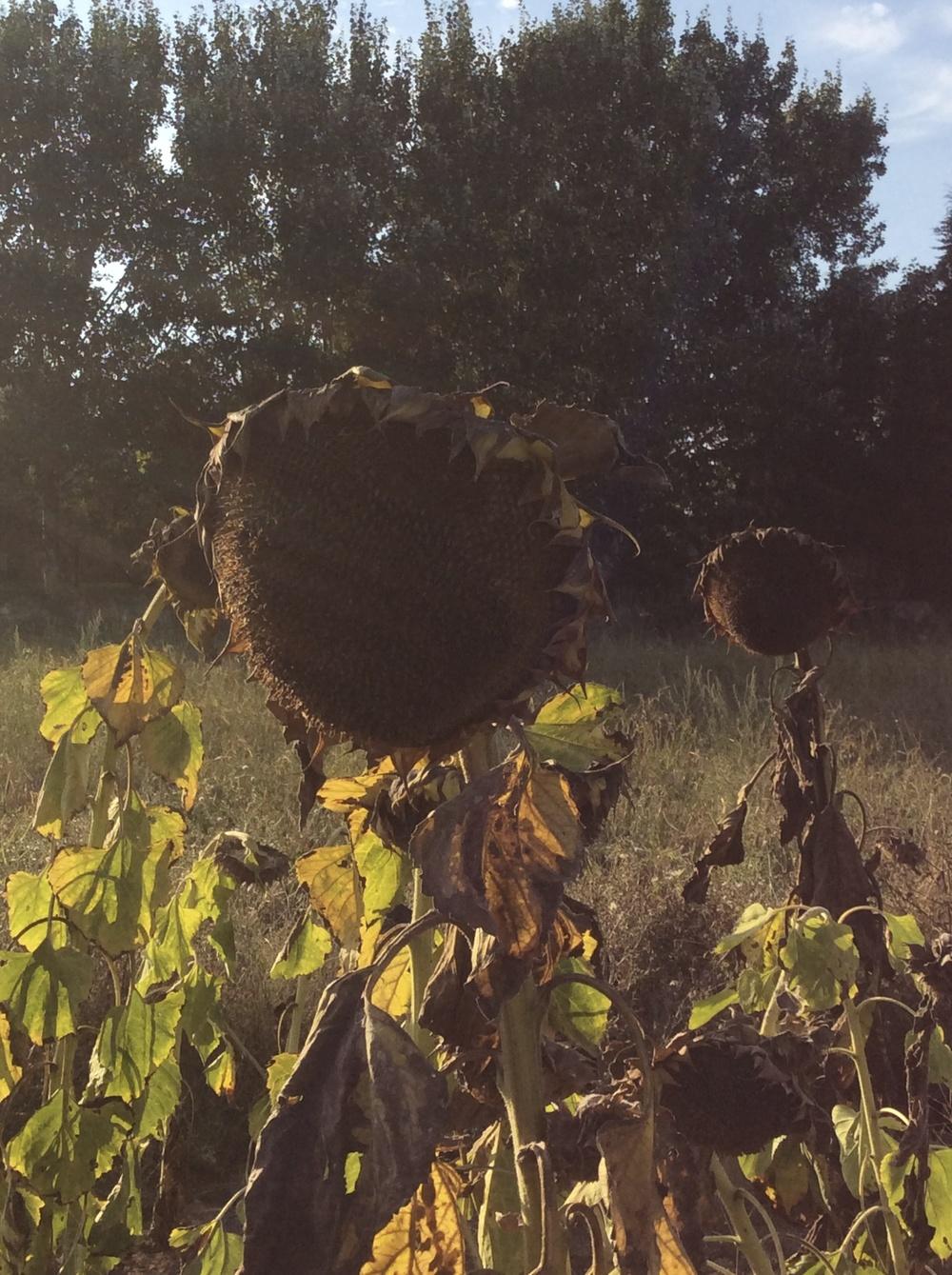 sunflower 5.jpg