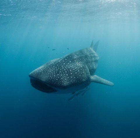 We swam alongside this guy & a few other friendly #whalesharks while in #Exmouth, WA!  Photo credit: the lovely & talented MJ of @littlewavephotography