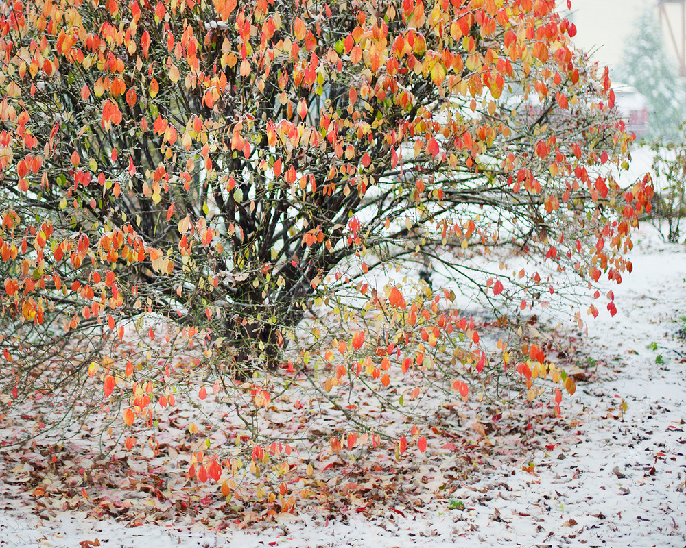 winter...flaming bush