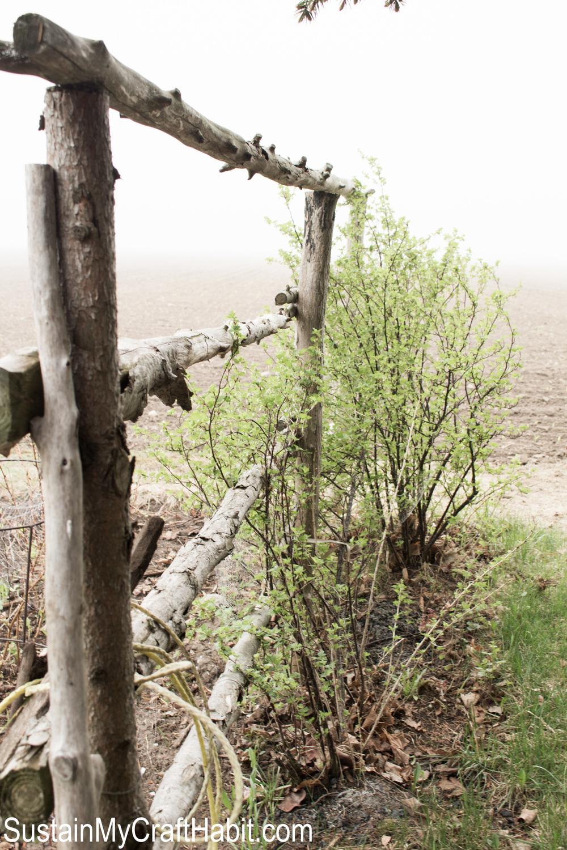 Cedar branch trellis for the Gooseberry bushes