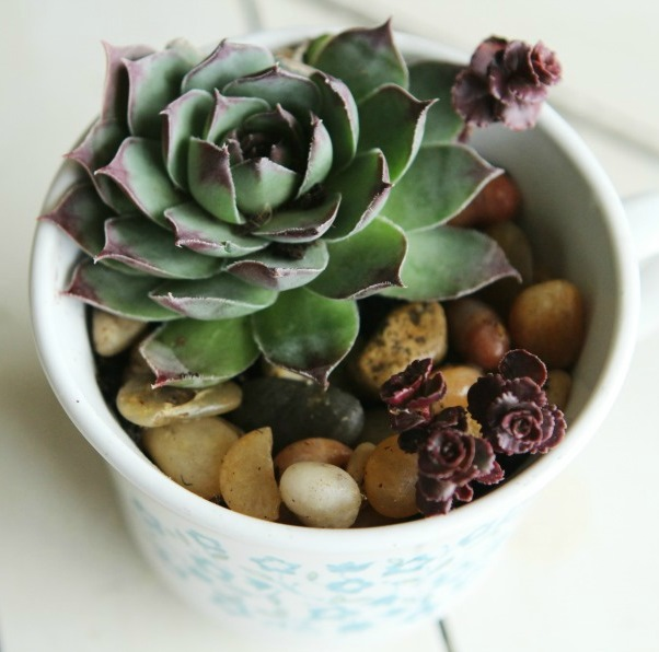 Succulent tea cup gift idea