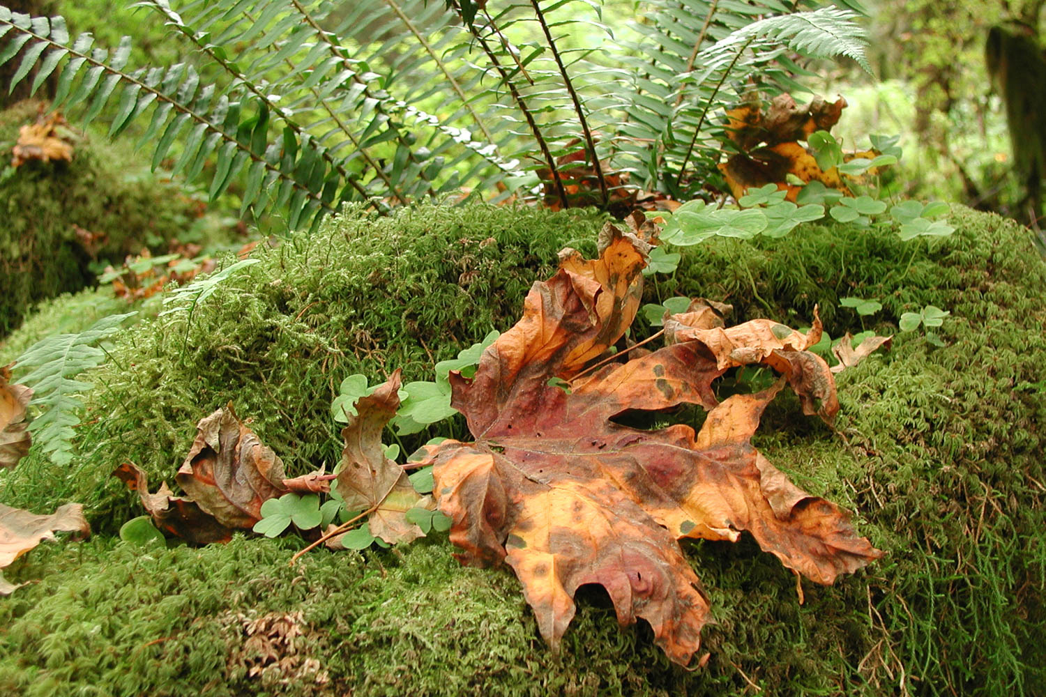 leaf In The Forest, Olympic National Park