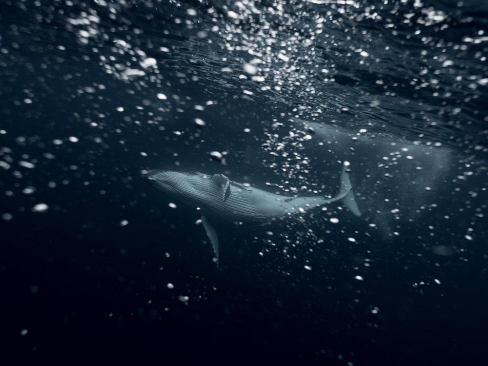Tonga-humpbackwhale-olympus-underwater-michaelaskovranova