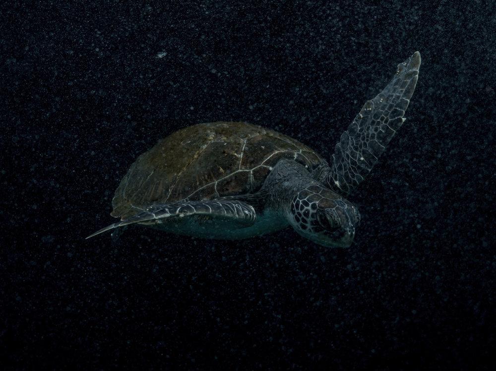 Michaela Skovranova - underwater turtle