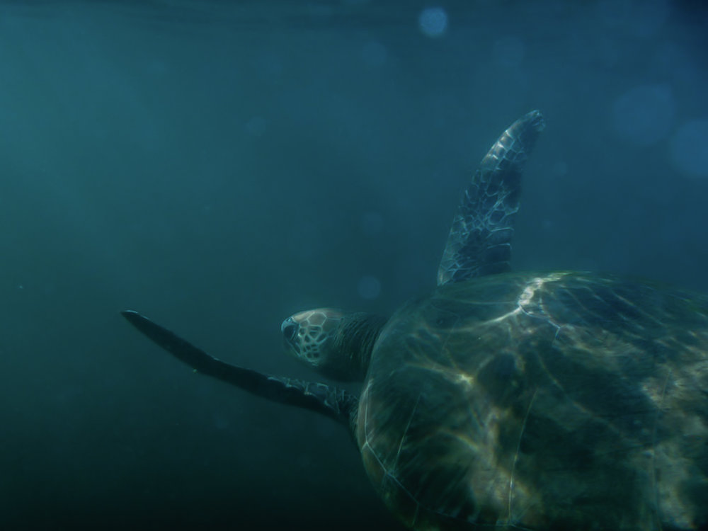 First photograph of a turtle / Hamilton Island 2012