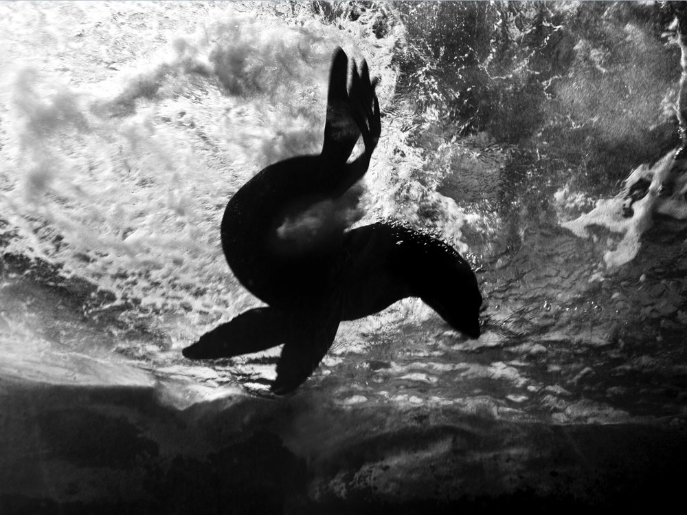 My Animal Planet / Documentary Project - a portrait of an Australian Fur Seal through glass. Sydney Aquarium, 2009