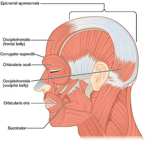 1106 Side Views of the Muscles of Facial Expressions By CNX Anatomy 2013 [CC BY 4.0 (http://creativecommons.org/licenses/by/4.0)], via Wikimedia Commons