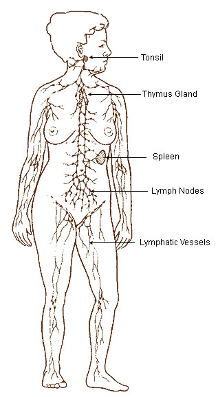 https://commons.wikimedia.org/wiki/File:Illu_lymphatic_system.jpg#/media/File:Illu_lymphatic_system.jpg