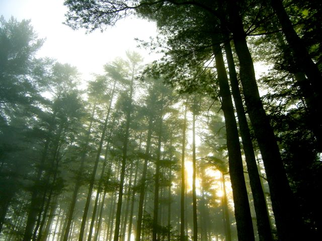 Copy of Nawandyn Estate's Giant Pines at Sunrise