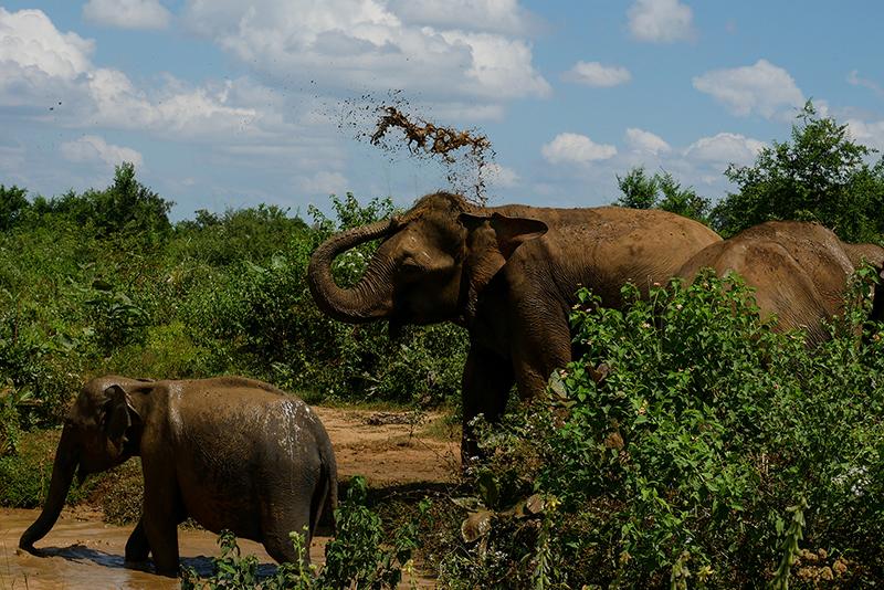 wild-elephants-sri-lanka-yoga-retreat