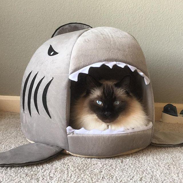 SharkKitteh.jpg