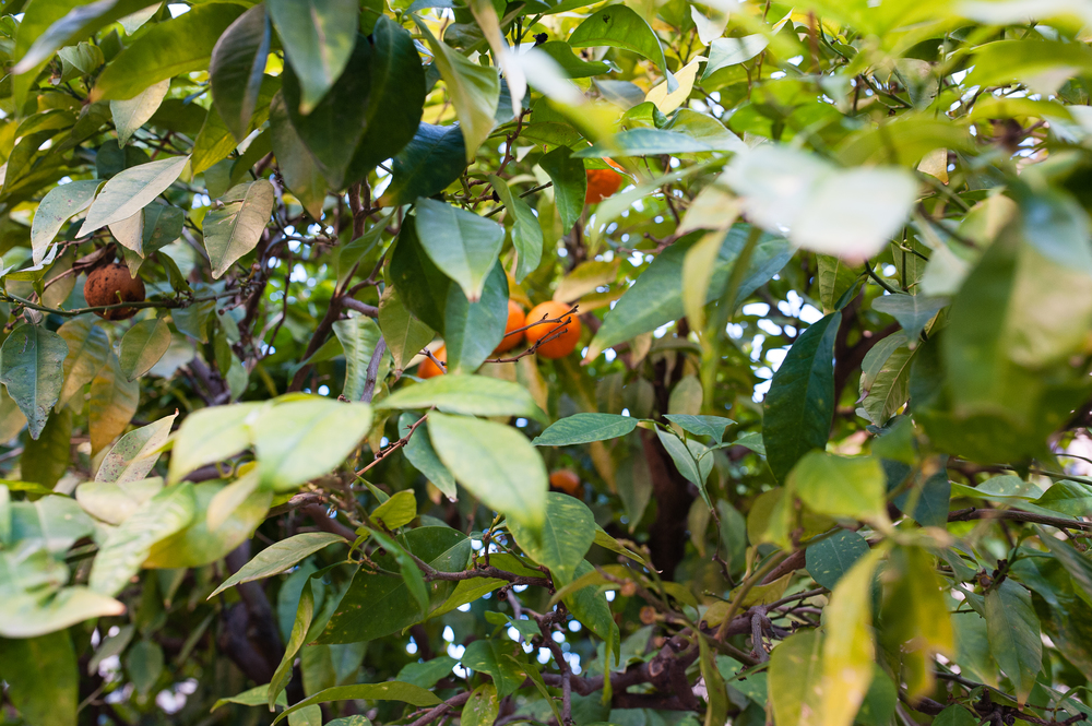 bitter oranges (the kind used in marmalade) grow all around