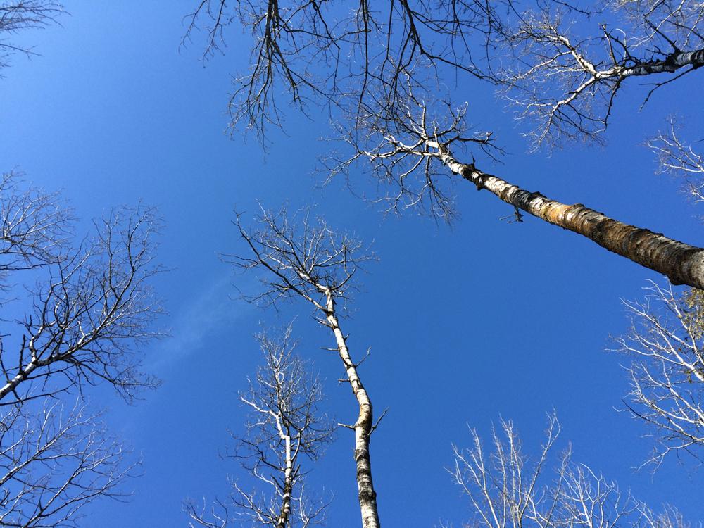blue sky birches.jpg