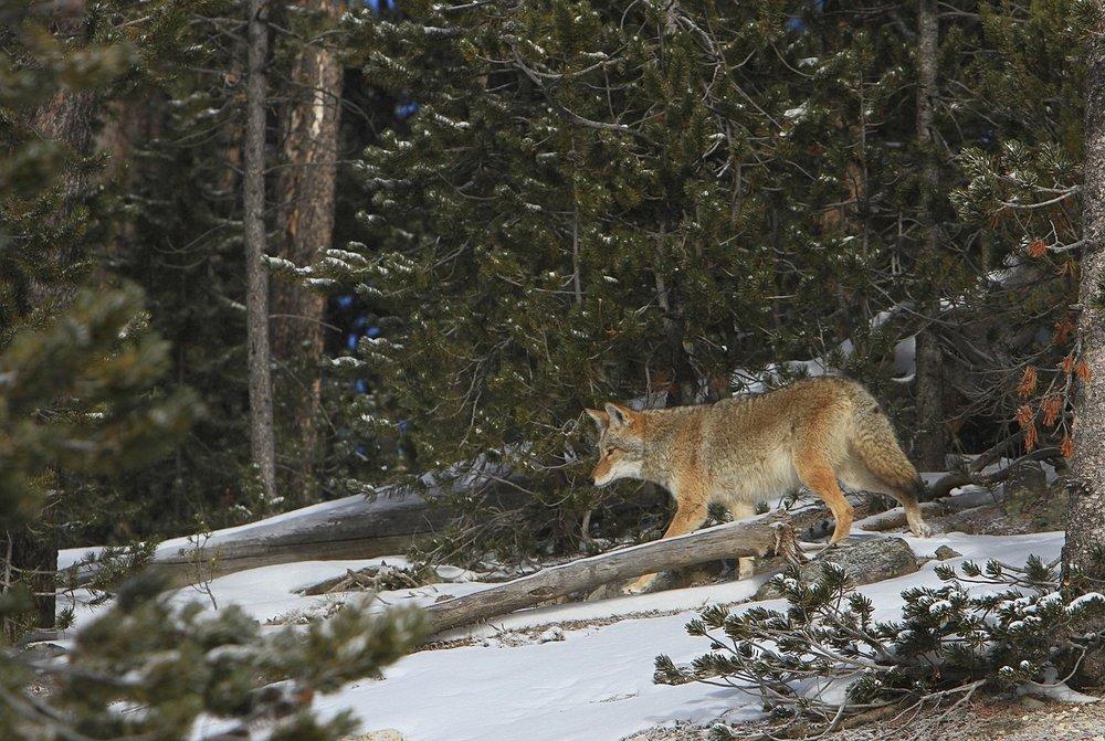 coyote-1627535_1280.jpg