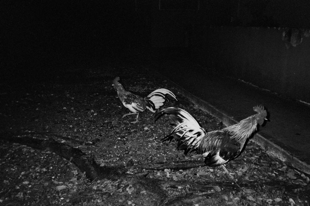 ___roosters.jpg