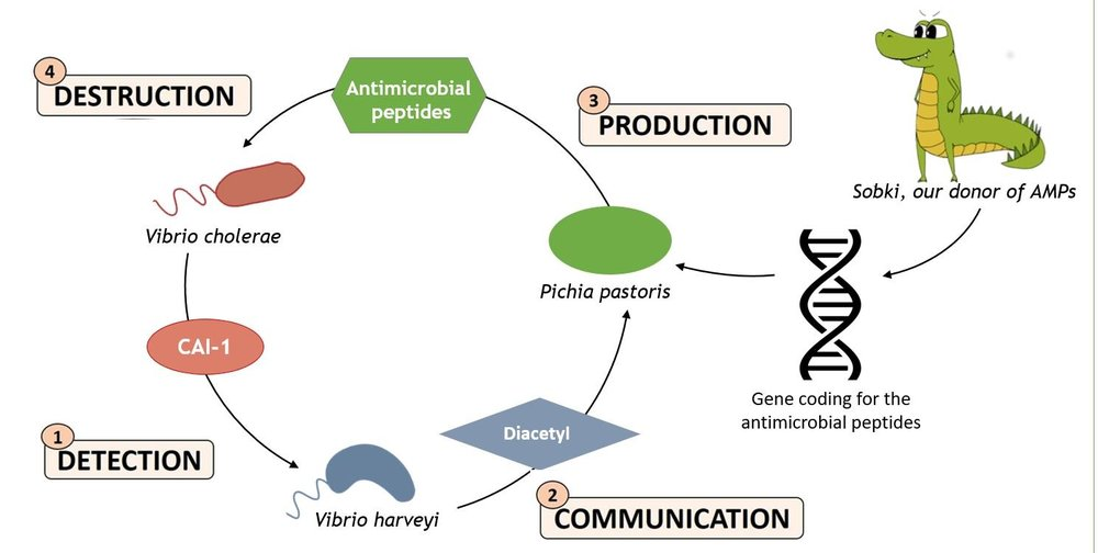Summary of the iGEM team's strategy to kill  Vibrio cholerae  by using synthetic biology
