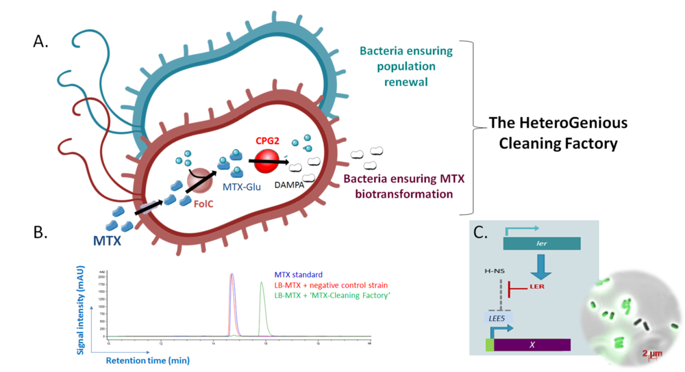 Figure 1 :  A) The MTX-biotransformation pathway and division of labor strategy.  B) HPLC analysis of MTX medium incubated with a 'MTX-Cleaning Factory'. LB medium containing MTX (512 µM) was incubated during 5 h at 37°C with control bacteria (E. coli K12 pSB1C3-tet (BBa_R0040)) or with one of our 'MTX Cleaning Factory' (E. coli WT pSB1C3-folC-cpg2 (BBa_K2688009)). The supernatants were filtrated and analysed by HPLC with a reverse phase C18 column. Detection was made using UV spectrophotometry at 303 nm.  C) The 'HeteroGenious' device. Interplay between Ler and H-NS for the modulation of LEE5 promoter activity; Fluorescent microscopy of E. coli K12 harboring pSB1C3-LEE5_GFP_native (BBa_K2688012) cultured in LB at 37°C during 24 h.