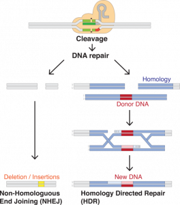 Deletion/insertion in genome by CRISPR Source: Wikimedia