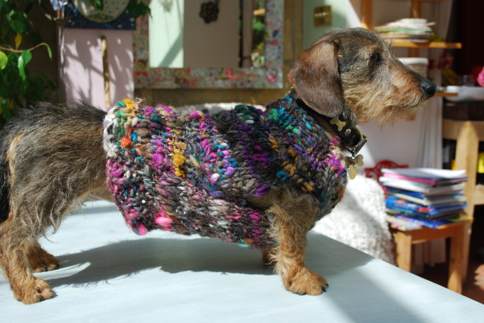Miniature Wire Haired Dachsund wearing a knitted dog coat stood on a tabletop