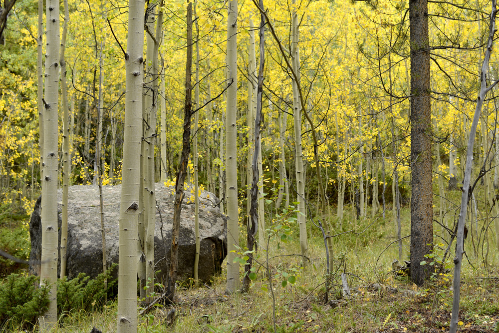 Quaking Aspen ( Populus tremloides ) Keystone, CO