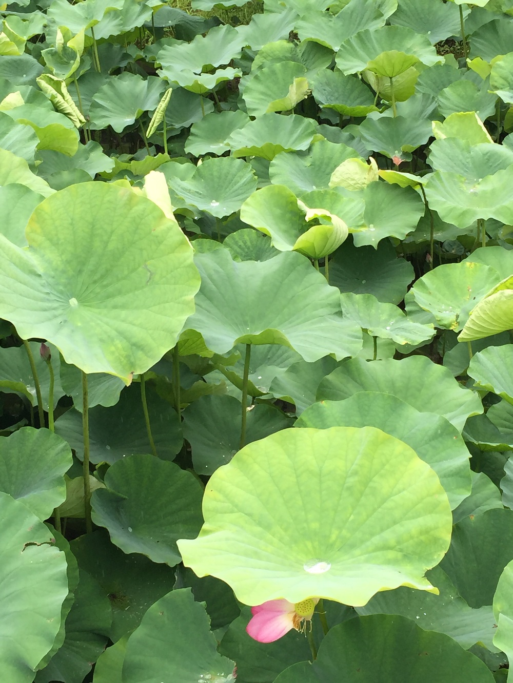 Lotus pond at Toji.
