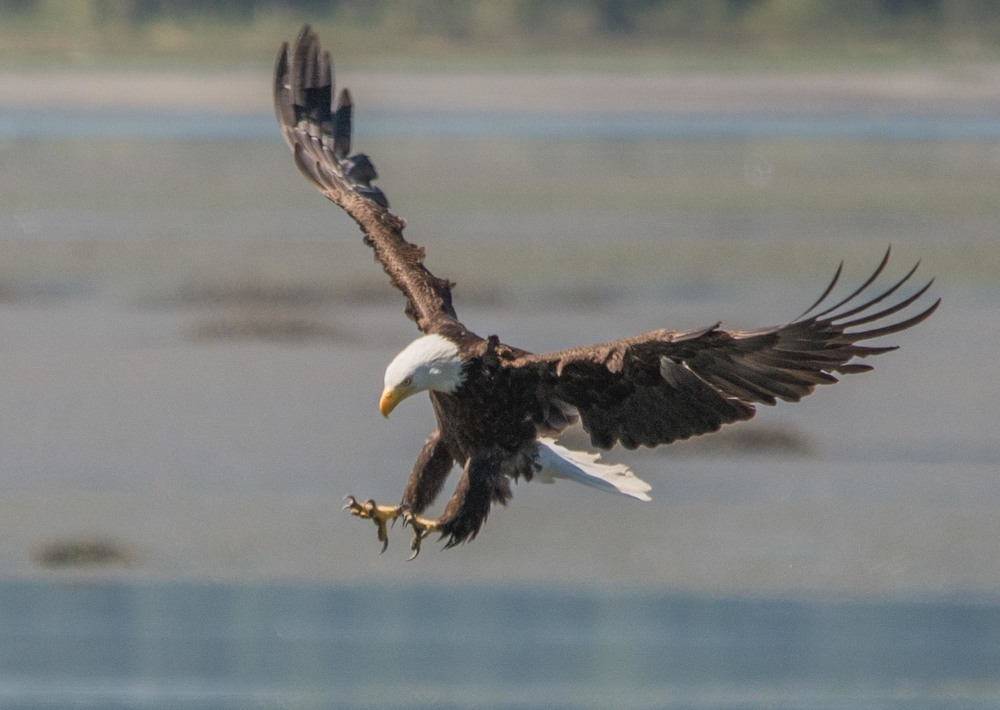 A bald eagle swooping for the kill