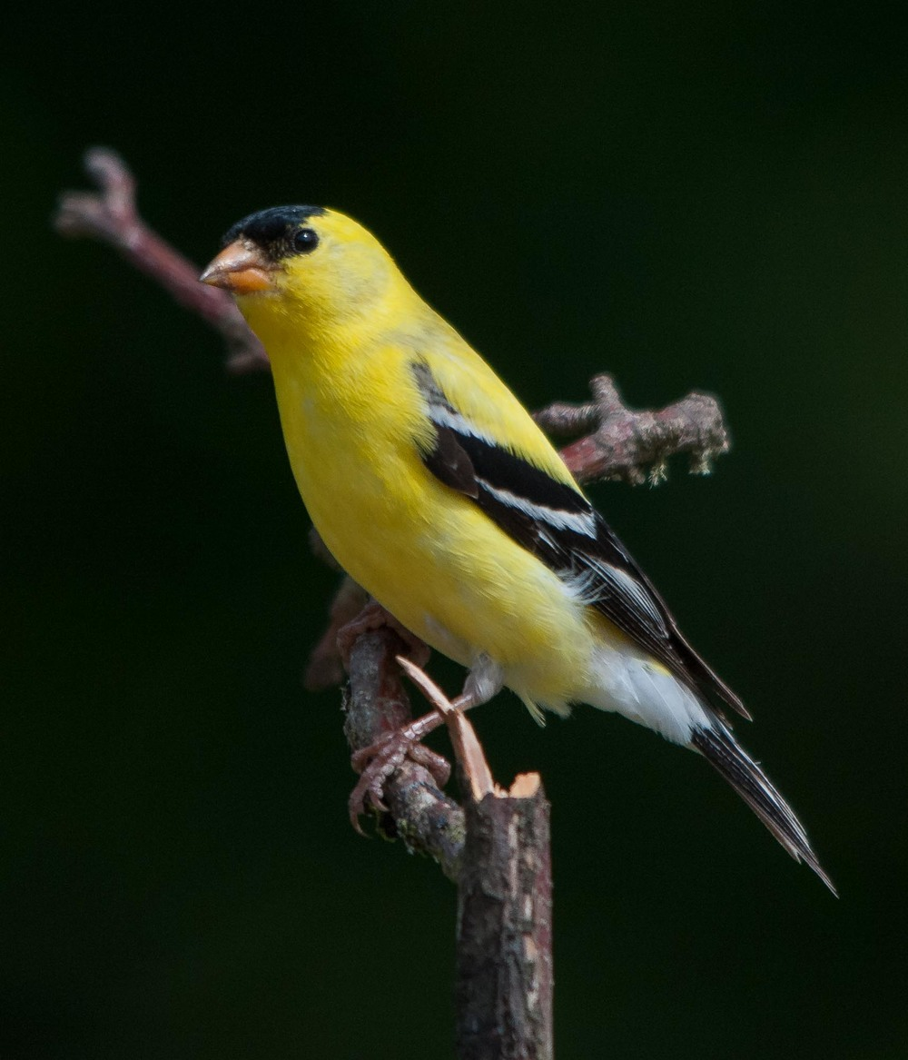 Gold Finch in Hood Canal