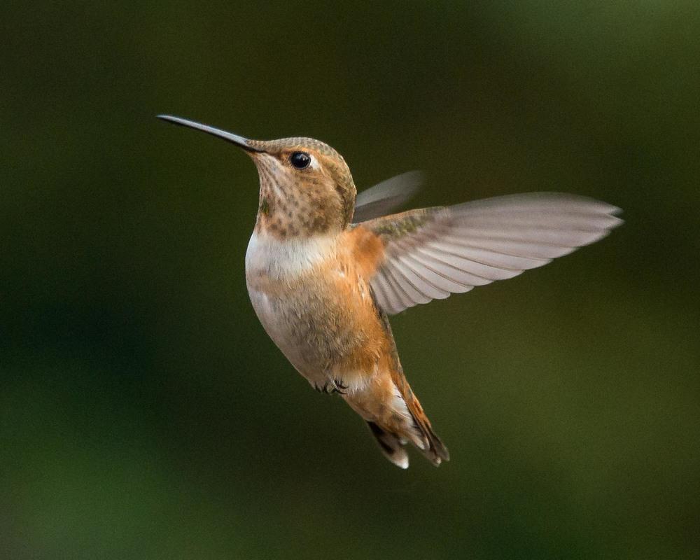 Rofous Hummingbird