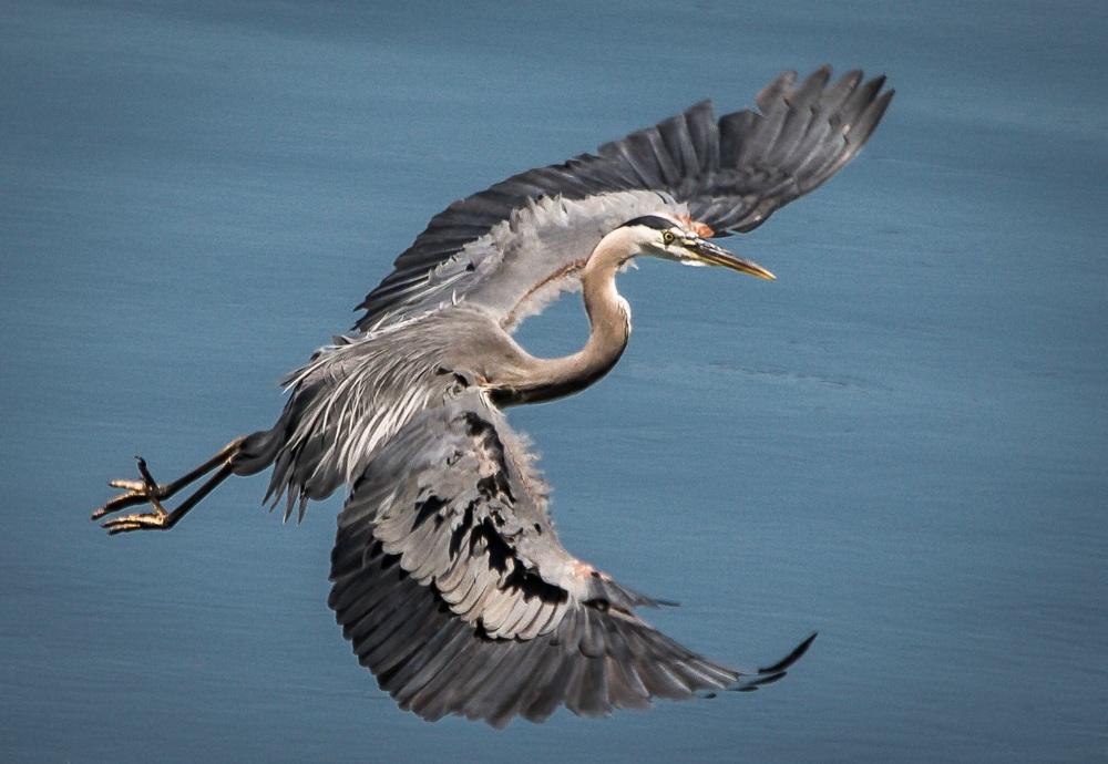 Heron swooping in for landing