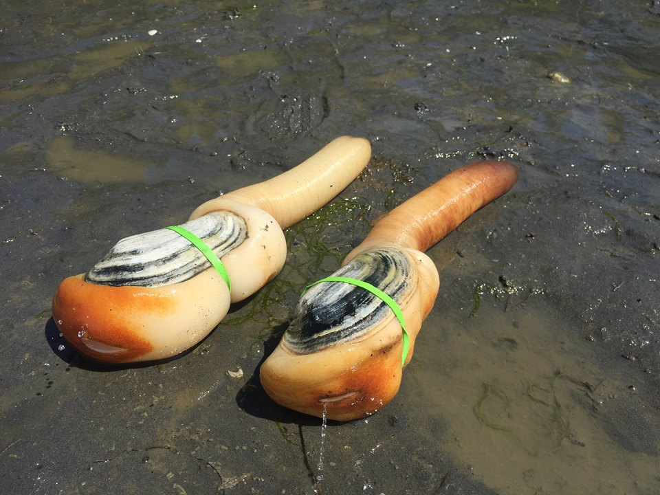 Taylor Shellfish Farms harvests two large geoducks