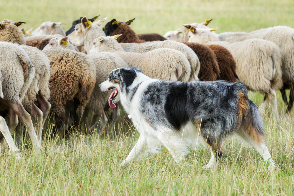 explore-hood-canal-sheepdig-herding