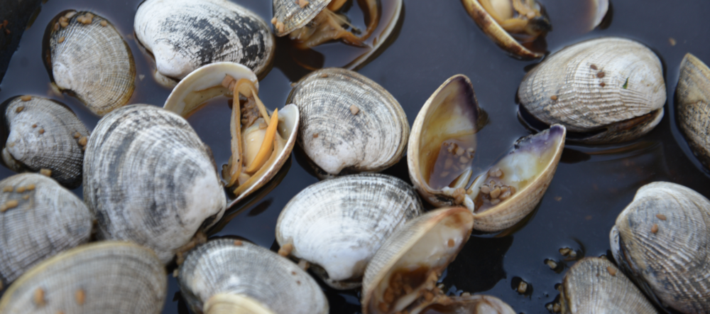 Fresh Hood Canal clams are just one of the ingredients in the rich seafood boil prepared by chef Brandon Hesher  from Union WA