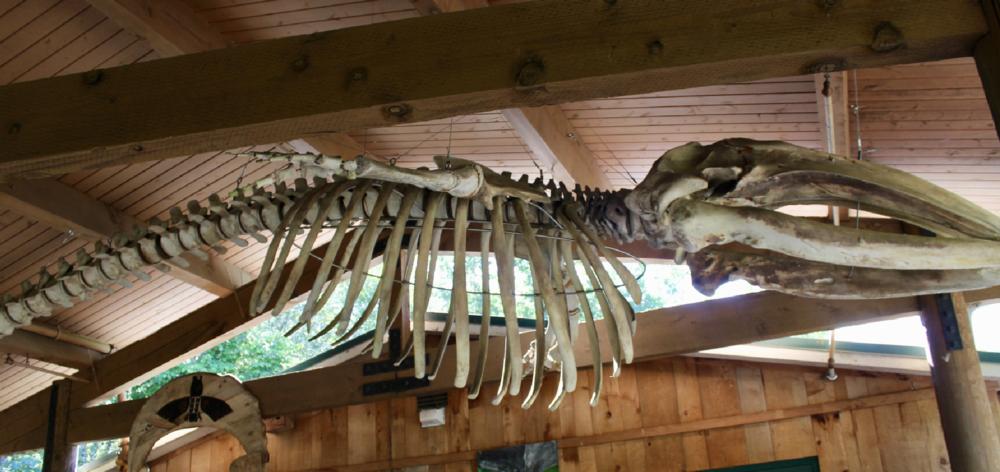Rebuilt whale skeleton on display in the interpretation classroom