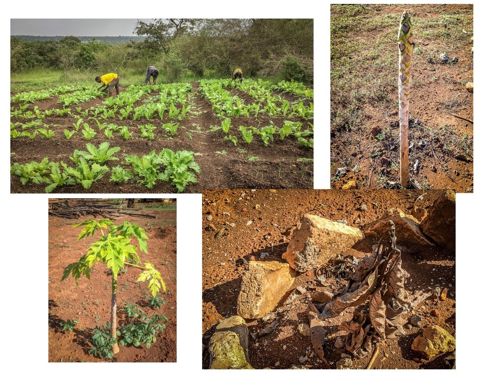 Without water, these plants will wither and die. The past two years, the monsoon rains were late and the crops were lost. On site water will allow for sufficient irrigation.