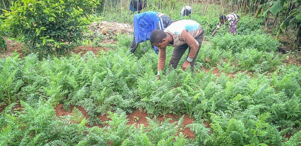 carrot garden.jpg