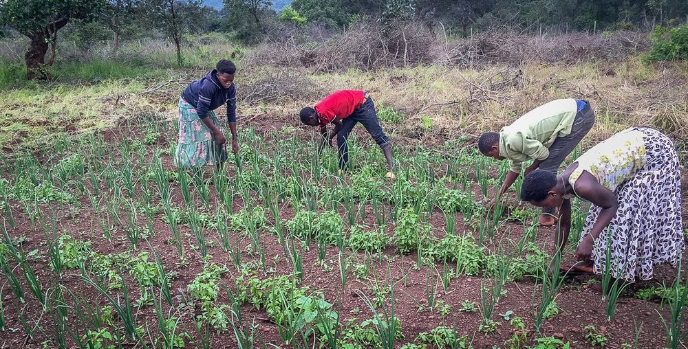 our onion garden.jpg