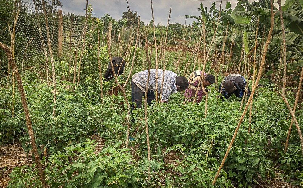 our tomato garden.jpg
