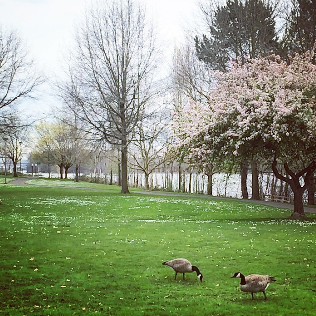 Willamette, cherry blossoms, Canadian geese. I know I've been singing the praises for Portland ever since I got here, but lately I've been feeling particularly more bonded with the city. There's a lot to love here. :-) #ILovePortland #WillametteRiver #SpringTimePortland