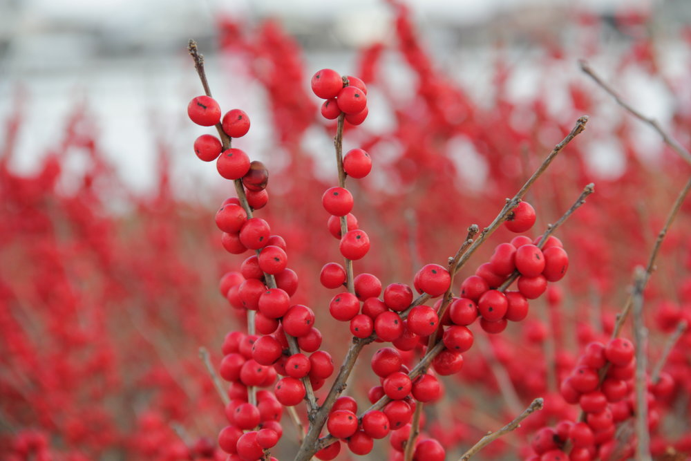 berry bushes in snow, phipps conservatory