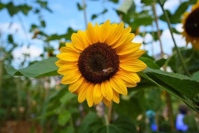 Sunflower and Bee, Mons, Belgium