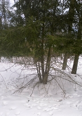 Here is some typical winter deer damage– you can even see their tracks.