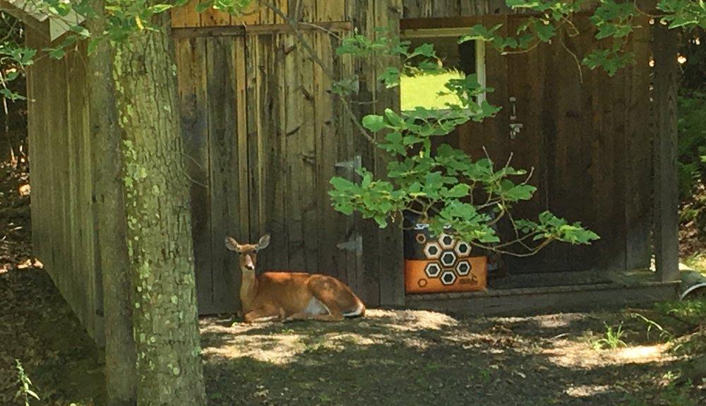 deer-sitting.jpg