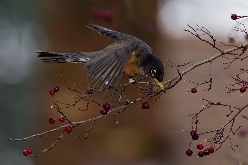 2015-03-27---American-Robin---Shutterstock-130479275.jpg