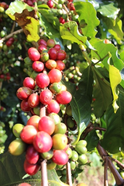 Abonzo coffee still growing